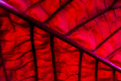 Veins (Joebelle) Tags: red colour macro closeup canon geotagged leaf flora flash poinsettia explore ocf veins tamron 90mm geotag tamron90mm speedlite offcameraflash ste2 explored strobist 40d canon40d platinumheartaward 430exii