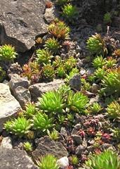Hauswurz (Jovibarba globifera) (blumenbiene) Tags: plant garden botanical dresden succulent pflanze botanic garten botanischer hauswurz sukkulente jovibarba globifera