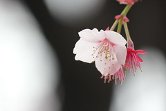 Early cherry blossom / 早咲の桜