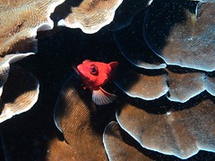 Slobodan's Bunker and Ataturk's wall (turkishraf) Tags: sea coral indianocean scubadiving sponges pemba healthyreefs divepemba secretdivesites divetanzania pristinereefs africandiving