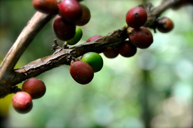 Barako Coffee Berries
