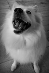 Trixie (MossyOwls) Tags: blackandwhite bw dog pet white silly tongue mouth nose funny teeth fluffy wideangle canine hund trixie spitz americaneskimodog wideanglelens eskie