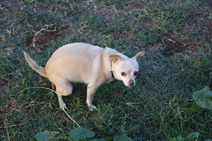 Angel the Pooping Chihuahua (Rick O!) Tags: dog chihuahua green grass yellow back rainbow beige little over bad sausage crap poop lucky shit fart taste charms smelly eyeballs farty feces donoteat crouched excrement farts poopoo hunched arched diarhea duece