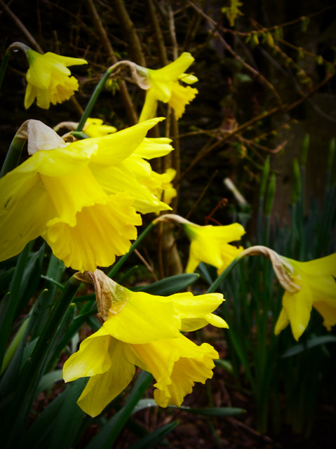 Day 274 - Daffs are Out