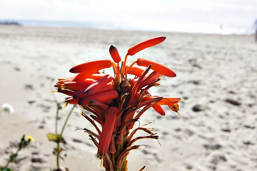 Beach: Orange flowers