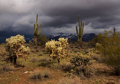 Dusting (NatalieBrokaw) Tags: arizona cactus desert saguaro sonorandesert cholla superstitionmountain snowindesert