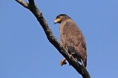 Crested Serpent Eagle (Gurusan2010) Tags: westernghats crestedserpenteagle spilornischeela tamilnadubirds