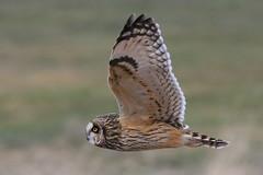 Short Eared Owl in Flight (Paridae) Tags: owls birdsofprey shortearedowl birdsofbritishcolumbia owlsinflight birdsofladner birdsofboundarybay