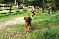 Do I know you? (Loopy & Starlin) Tags: red people dogs wales wonderful out carmarthenshire day phil angus joy places ron cranberry lou rhodesianridgebacks ridgebacks pembrey dogsdayout gwennon pembreybeach pembreyforestpark loopystarlin