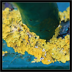 Curious Yellow (Mike Legend) Tags: yellow lichen xanthoria foliose