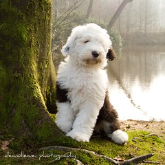 From Sarah with love... * explore * (dewollewei) Tags: old english sheepdog que pup bobtail sera oes oldenglishsheepdog sheepdogs oldenglishsheepdogs sweetexpressions platinumheartaward highqualitydogs