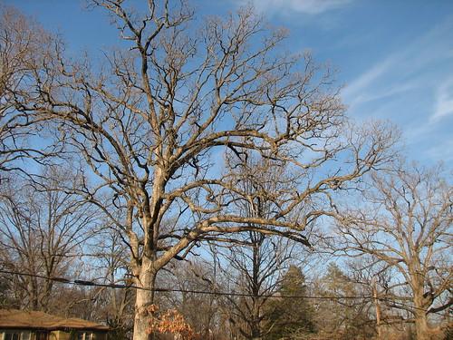 the neighbor's oaks