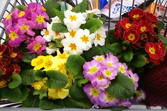 Our New Primroses by Elli :-)