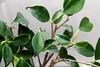 Bonsai - Ficus 04 (pmreusser) Tags: china macro japan canon eos is pflanze pflanzen ficus bonsai dslr makro bäume 盆栽 efs baum digitalimage schale 18200mm japanisch gartenkunst f3556 sträucher gefäss eyefi 60d canoneos60d eyeficard eos60d copyrightpascalmichelreusser pascalmichelreusser digitaldslrimage gefässen anpflanzunginderschale