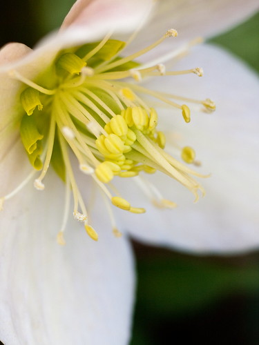 3月のお庭〜Lenten rose〜