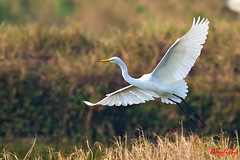 (Species # 431) Intermediate Egret (tinyfishy) Tags: bird flying inflight flight taiwan tainan egret intermediate intermediateegret code5 taijiangnationalpark
