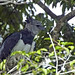 Harpy Eagle (Peter Price)