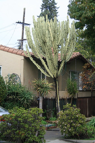 Euphorbia ammak variegata on Claremont Ave