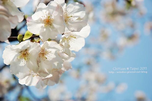 2011陽明山花季06.jpg