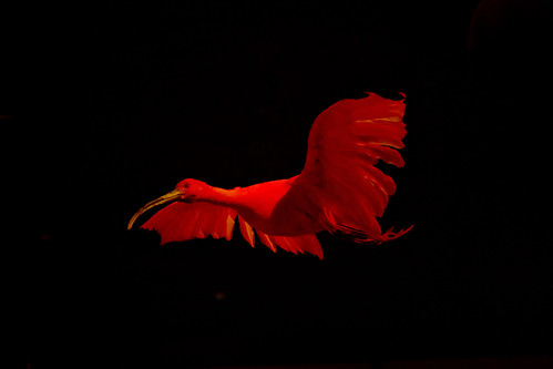 A flying Ibis in the dark!