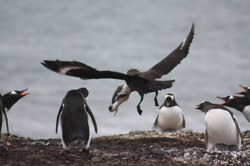 Skua attacks...