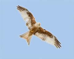 Leucistic Kite (Andrew Haynes Wildlife Images) Tags: kite bird nature wales wildlife powys gigrinfarm canon7d ajh2008 leucistickite