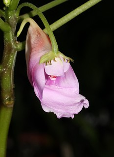 Impatiens mackeyana ssp claeri