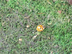ladybug (Ari-Jane Nane) Tags: animal insect kfer