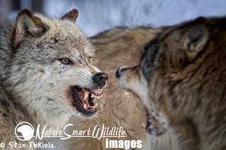 Gray Wolf snarl Tekiela TEK6130
