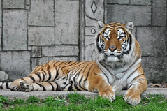 Bengal Tiger (Truus & Zoo) Tags: españa animals zoo spain endangered córdoba spanje dierentuin bengaltiger tigredebengala pantheratigristigris bengaalsetijger koningstijger