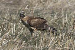 Northern Harrier (greg obierek) Tags: nature canon hawk wildlife 7d delaware predator birdofprey harrier nwr bombayhook bbh northernharrier circuscyaneus eos7d ef500mmf4lis amazingwildlifephotography