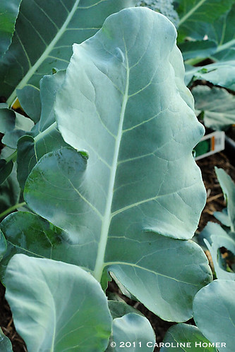 'Green Magic' broccoli