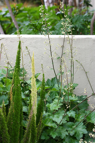 asparagus myers and heuchera maxima