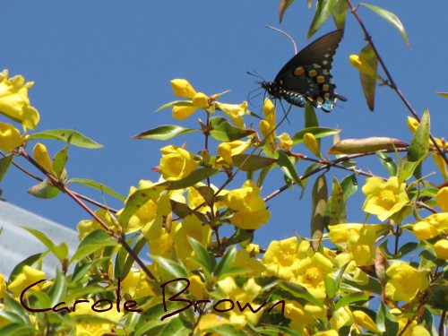 Black Swallowtail on Carolina Jessamine