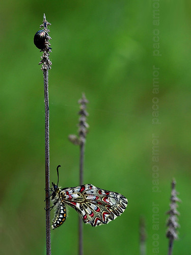 zerynthia rumina y coleóptero