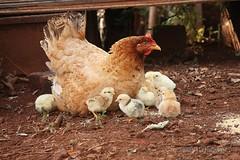 Mamãe galinha  e seus pintinhos  ;-)) (Dircinha -) Tags: family familia galinha little interior ave chicks filho filhote pintinho mamãe pinto roça phasianidae avicultura littlechicks galinhachoca galinhacaipira galinhacrioula animaisyahoo
