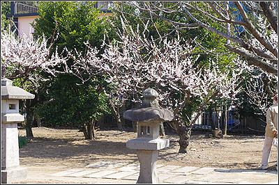 梅は咲いたが桜はまだ、、、だよね
