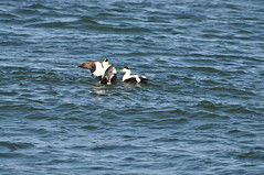 Common Eiders (males) at Barnegat Inlet (Jim_AC) Tags: winter birds barnegat anatidae anseriformes eiders