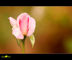 This rose is for you... (Sh@dows) Tags: macro rose canon photo dubai sunday uae kerala drop 7d raindrops ef100mmf28 raindrop thrissur loveday sarin canonef100mmf28 sarinsoman  roseforyou canon7d  loveisrose    rroseislove