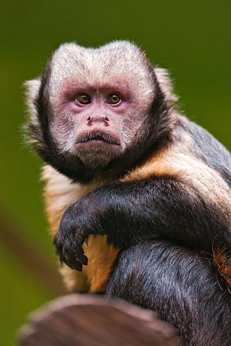 [フリー画像] 動物, 哺乳類, 哺乳類(その他), オマキザル, 201103231100