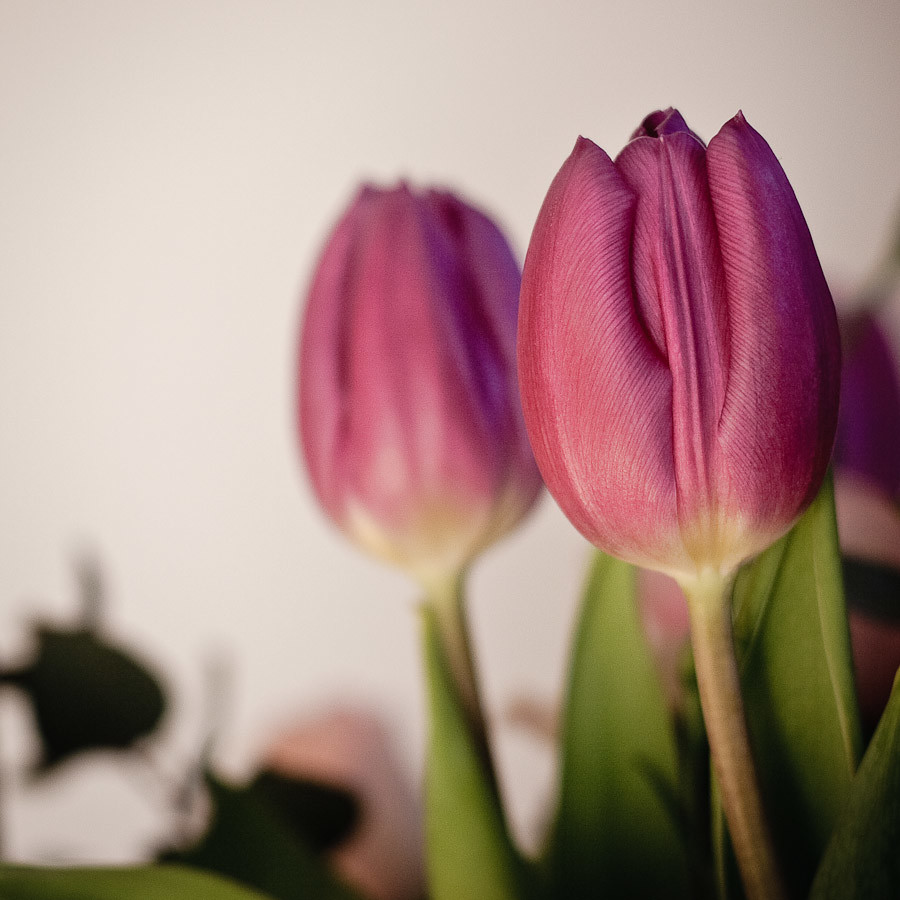 #11 Tulips