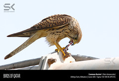 Common Kestrel   (Falco tinnunculus) (suhaaz Kechery) Tags: falcotinnunculus commonkestrel canon60d commonkestrelfalcotinnunculus mekaines sigma150500dgapoos arkhiafarm suhaazkecheryphotography
