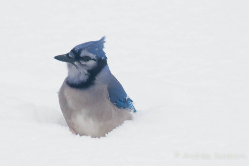 Blue Jay (5 of 7).jpg