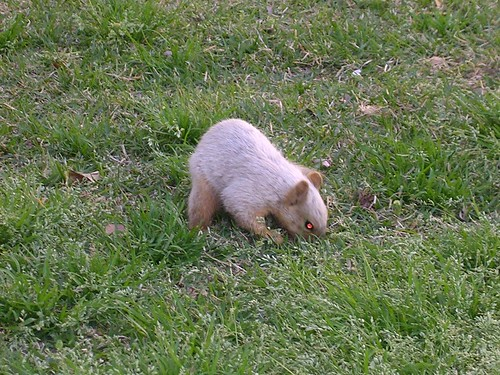 Dad's picture of an Albino Squirrel