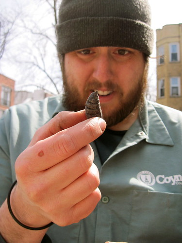 Cutworm pupae