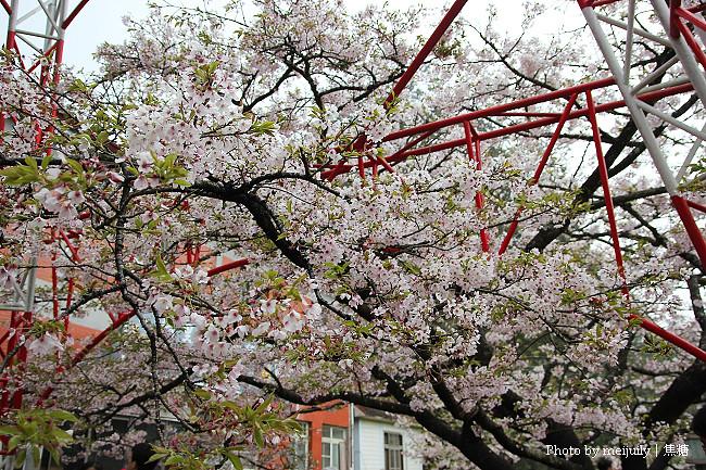阿里山櫻花季陰天版20