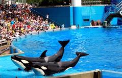 Trua and Malia (Shamufan88) Tags: orlando florida believe dolphins orca seaworld shamu killerwhale themeparks marinemammals