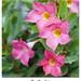 Flores 1610/11