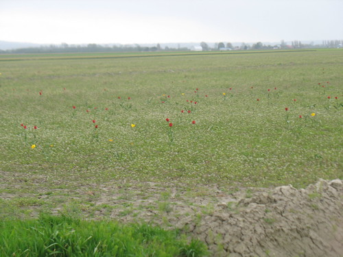 Red tulips and yellow daffodils dotting fallow fields