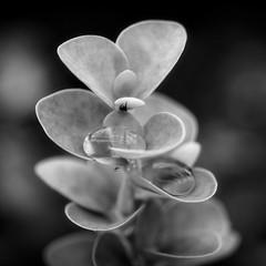 *** (pszcz9) Tags: polska poland przyroda nature natura zblienie closeup li leaf kropla raindrop bokeh beautifulearth bw blackandwhite monochrome czarnobiae